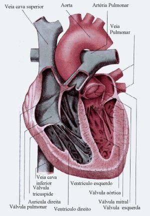 Valvas e Válvulas cardíacas - Sistema Circulatório - InfoEscola