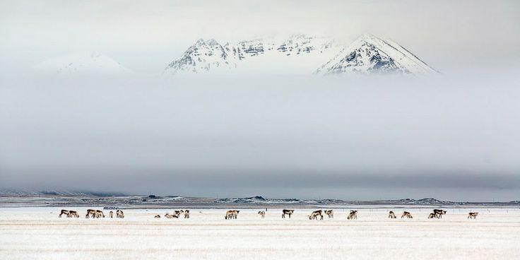 Szenthe Zoltán: Rénszarvasok délutánja. Rénszarvasok Izlandon, a sziget keleti partjához közel