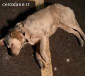 trovato misto labrador maschio a Bazzano
