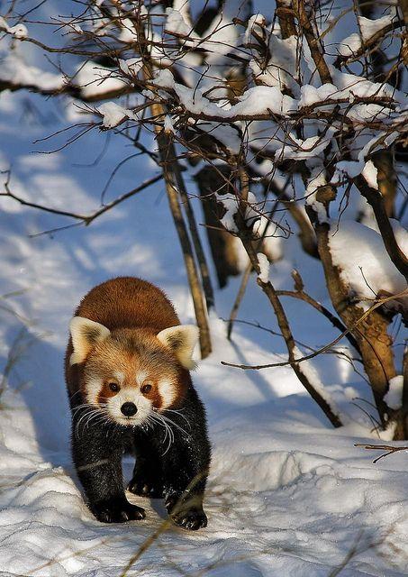 Red Panda   Tierpark Berlin   Thomas   Flickr