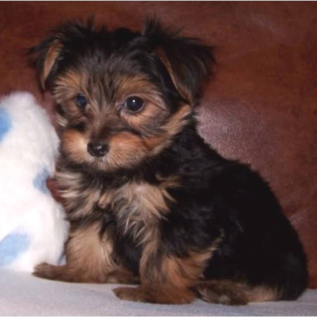 Black and brown morkie   Puppy Love   Morkie puppies, Cute ...
