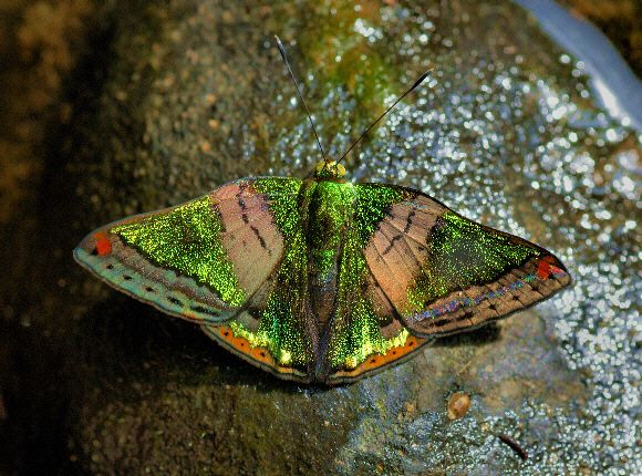 Butterflies of Amazonia - the Green Mantle from Central and South America is beautiful and elusive