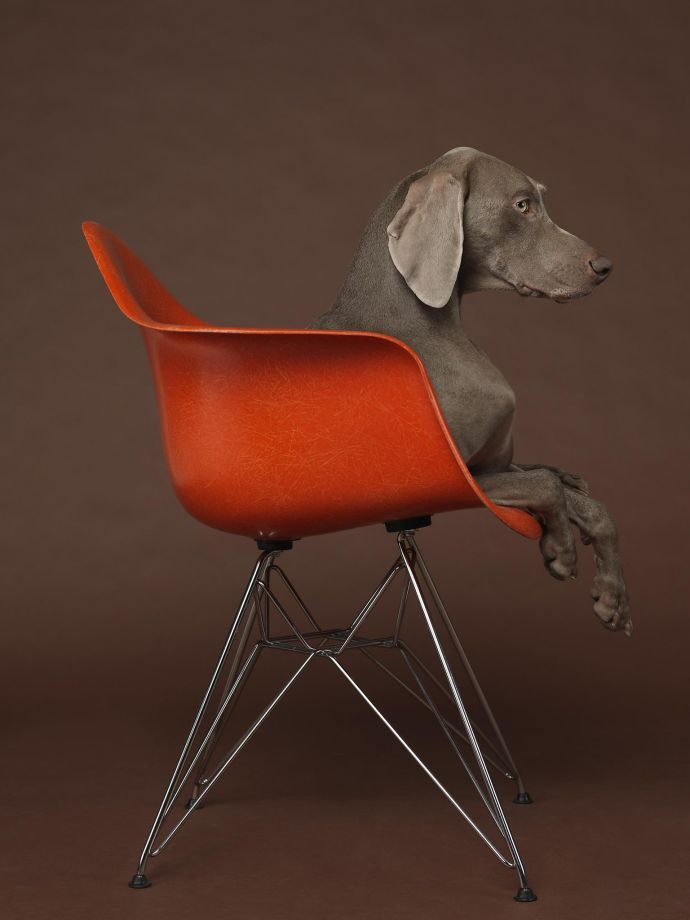 "A Weimaraner finds a chic perch on an Eames chair in William Wegman's 2015 photograph ""Eames Low,"" on exhibit in ""Artists Including Me: William Wegman"" through Feb. 7 at the San Jose Museum of Art.  Credit: William Wegman and Marc Selwyn Fine Art Los Angeles Photo: William Wegman And Marc Selwyn F"