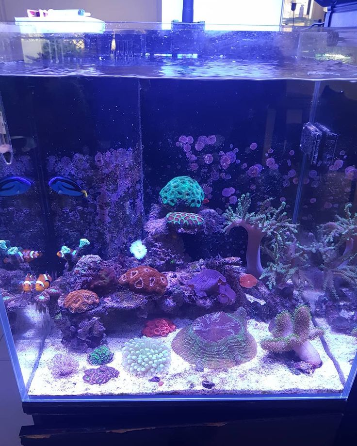 If you cant FTS are you happy with your tank or are you just hidding somthink  Its cool to focus on 1 coral every now & then but i love Full Tank Shots  Day 197 Aquaone mini reef 90. 90l /30g .. #heliofungia #xenia #acanthophyllia #discoma #acan #favia #zoanthids #anenome #caulastraea #sinularia #montipora #sarcophyton #starpolyps #clownfish #greenchromis #coralgoby #flamehawk #bluetang #hermitcrab #aquaone #minireef90 #nanoreef #saltwateraquarium #reeftank