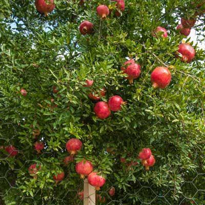 Wonderful Pomegranate Tree - Punica Granatum 'Wonderful'