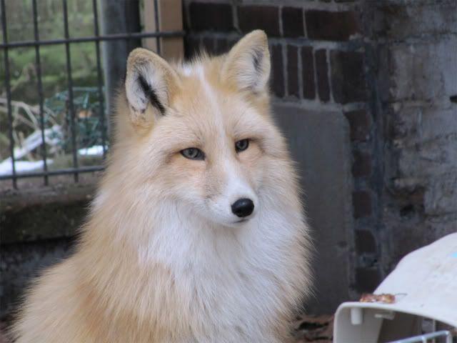 Domesticated Silver Fox | Saturday, February 5, 2011