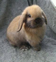 Just Pinned to Bunnies: Holland Lop Bunnies on Pinterest | Holland Lop Mini Lop and ... http://ift.tt/2onO4Jh
