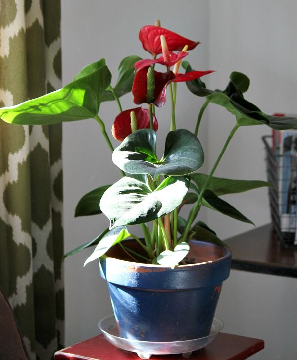 Flowering Anthurium House Plant Pflanzen