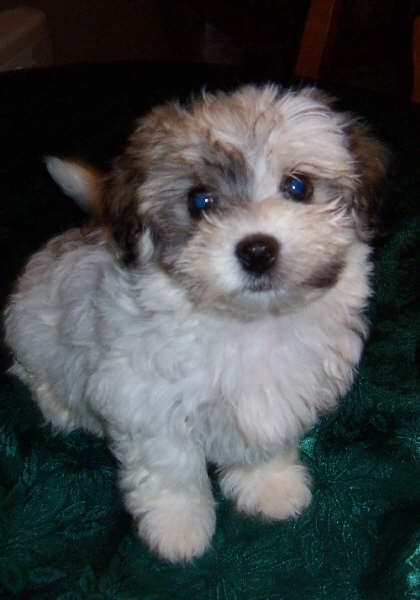 havanese puppies for sale - photo #29