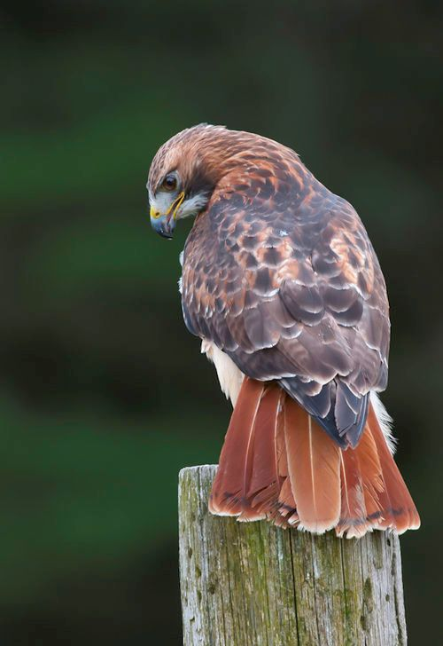 The Red-tailed Hawk (Buteo jamaicensis) is a bird of prey that breeds throughout most of North America, from western Alaska and northern Canada to as far south as Panama and the West Indies, and is one of the most common hawks in North America. Beautiful photo ▪♡▪