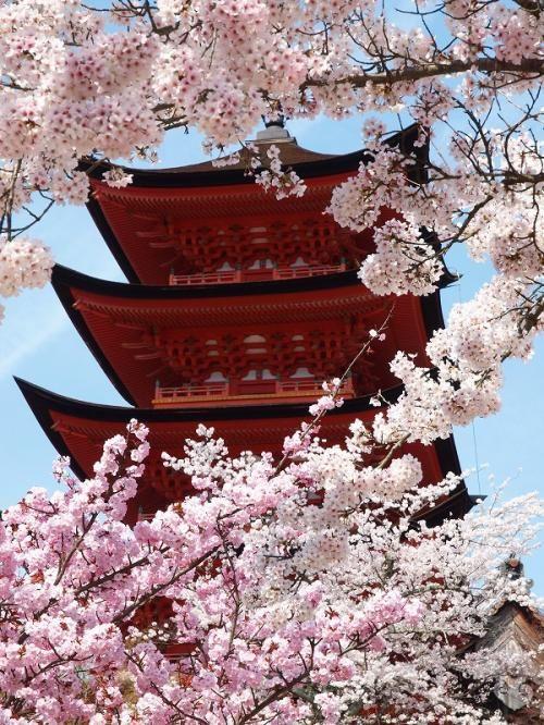 美しい!広島の宮島・厳島神社と桜の画像