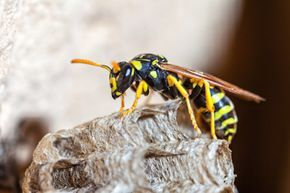 DIY natural wasp repellents. Tips and recipes that work.
