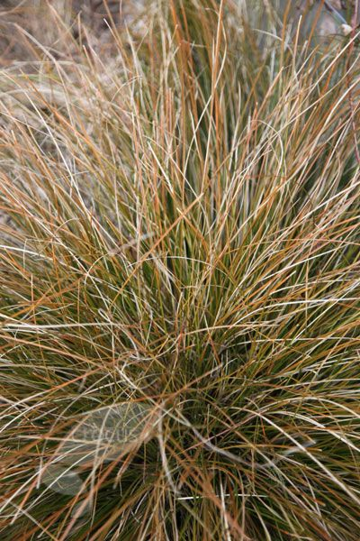 4116 best autumn falls again images on pinterest fall for Low growing ornamental grasses for sun