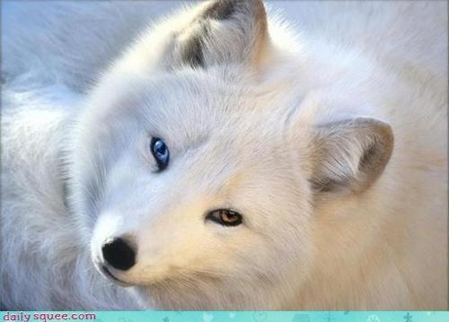 Arctic Fox Heterochromia Heterochromia Different