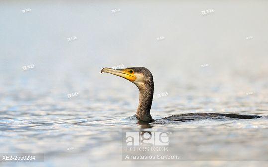 Cormorant - Phalacrocorax cormoranus, Greece