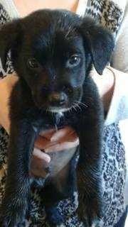 Border Collie dog for Adoption in White River Junction, VT. ADN-562294 on PuppyFinder.com Gender: Male. Age: Baby