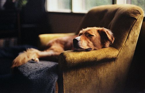 robot-heart:    dreams of dogs (by manyfires): Sleep Dogs, Best Friends, Bestfriends, Naps Time, Baby Dogs, Comfy Chairs, Sweet Dreams, Golden Retriever, Animal
