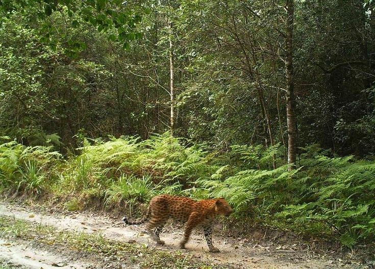 Leopard spotted in Knysna Forest