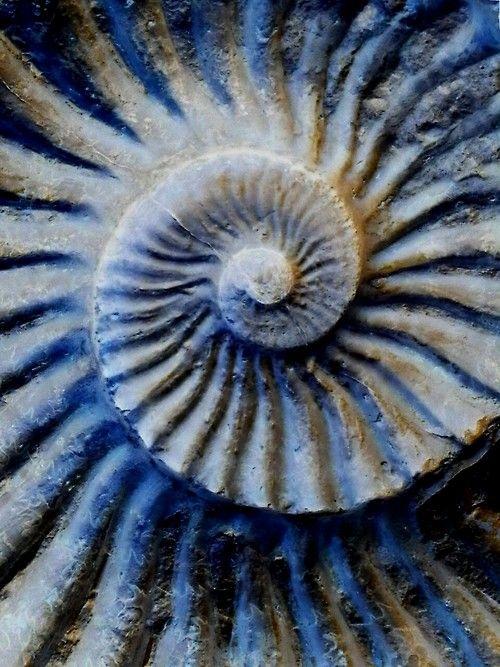 L'ammonite a gardé le souvenir de son passé dans l'océan.