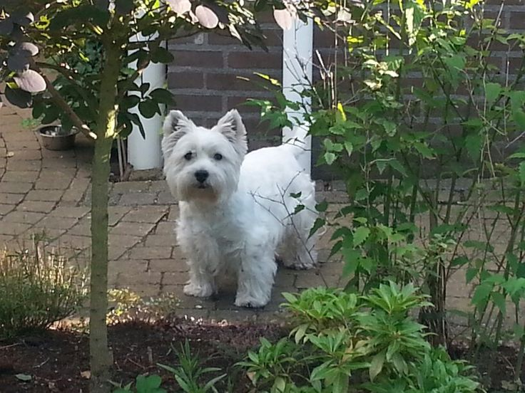 Pin by kay milner on west highland white terrier westie