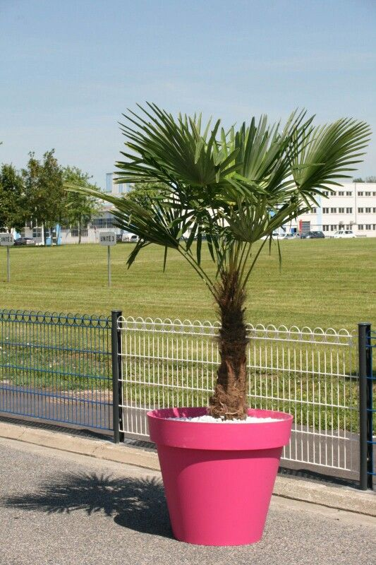 Palmier Trachycarpus Fortunei 2,50 m avec Pot Toscane EDA diamètre 100 cm Rose Fushia