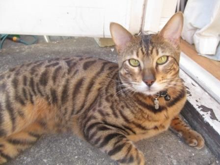 Lost on 28/04/2014 @ Walton on Thames Belgrave Close off of Westgrove. Lost Bengal cat called JINX. Just over 1 year old, brown and black spotted male. Wearing black and silver collar with identity chamber and a little bell. Very friendly. Please help us find him. Cal... Visit: https://whiteboomerang.com/?show=186k6vo (Posted by sarah on 28/04/2014)