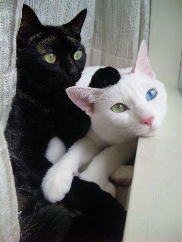 black cat and white KHAO MANEE! Love these cats! soooo