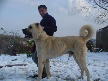 Kangal Hunde Foto 28172