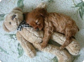 Little puppy cuddling with a teddy bear
