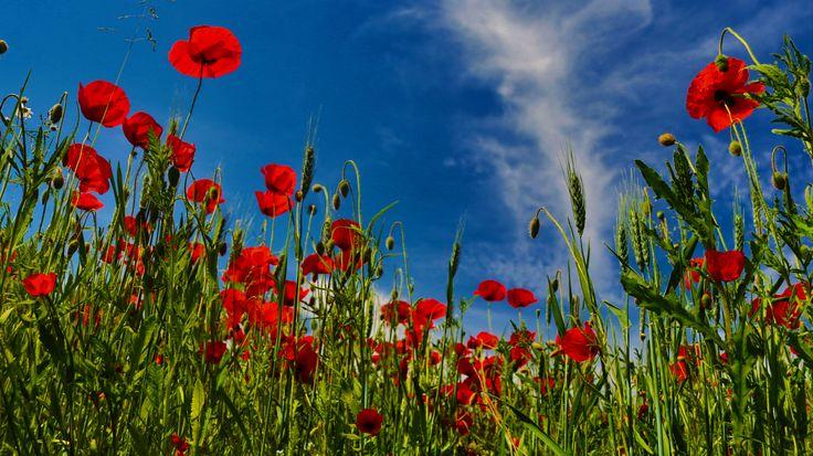 Blomsteräng full med vallmo