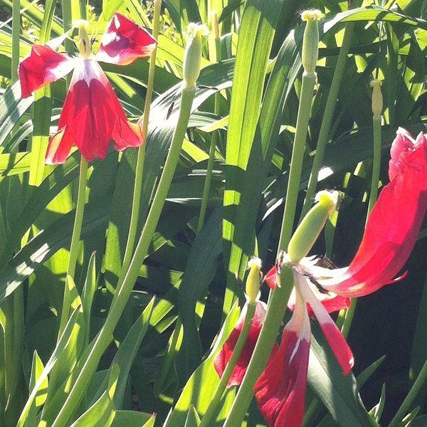 Przekwitające tulipany potrafią być piękne. Fading tulips.