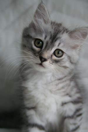 Pictures of Siberian Kittens | Silver Siberian Kittens - Silver Siberian Cats - siberian kittens for ...