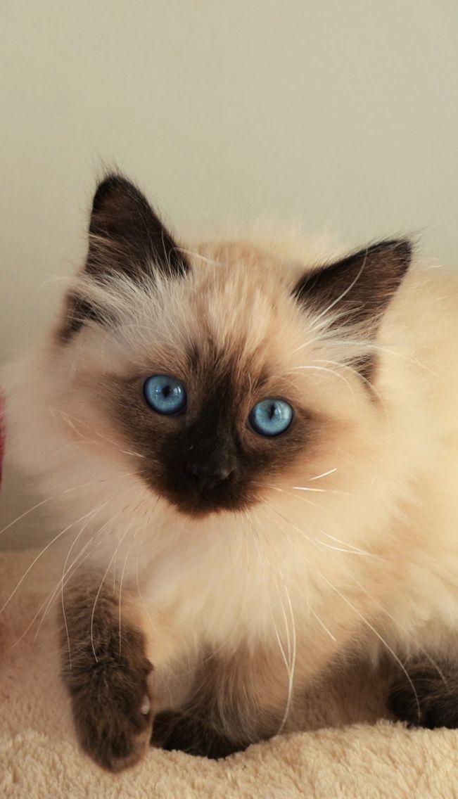 Siberian Neva Masquerade kitten cat