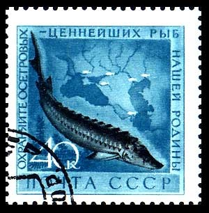 USSR Stamp from 1959 with the Beluga Sturgeon, famous for its caviar.
