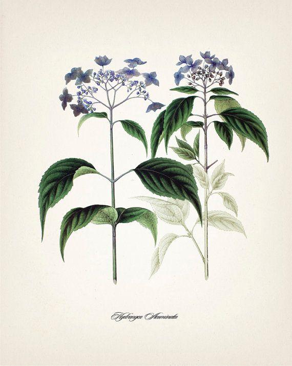 Hydrangea Hydrangea Acuminata 8x10 Fine art by ThePrintedVintage, $10.00