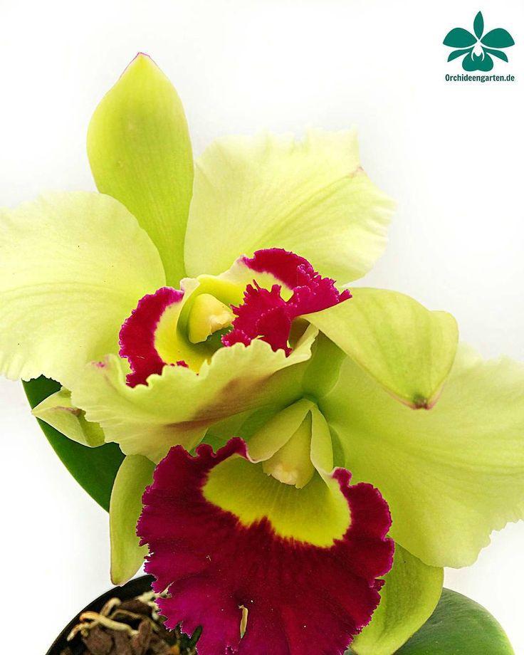 Mejores 236 imágenes de Orquideas y Bromelias en Pinterest ...