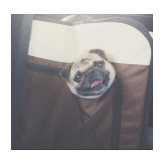 弟のLINEのトップ画が可愛すぎて、わろた😂 ダルさんどんどん可愛くなってきてる😍😍😍 #ダルさん #パグ犬 #パグ #可愛い#愛犬#癒される#どんどん#可愛くなってる#LINE#トップ画#弟#笑った#家族の#アイドル#picture#phot#good#dog#kawaii#cute#love#like#happy