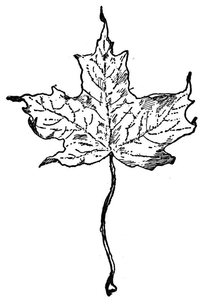mapleleaf2.jpg (680×1013)