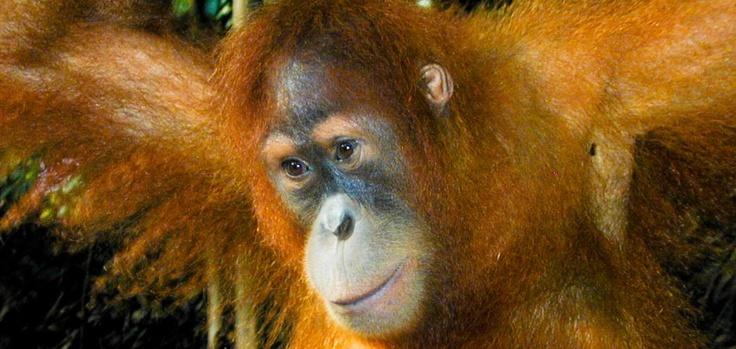 Orang Utan from Borneo (Kalimantan)