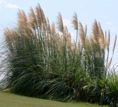 One of the loveliest ornamental grasses erianthus for Large ornamental grass plants