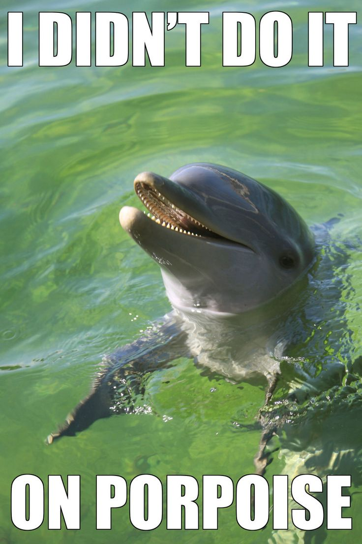 (Side note - this is an Atlantic Bottlenose Dolphin - you can tell by the sharp,  cone-shaped teeth!)  Porpoises generally have shorter have shorter rostrums and spade-shaped teeth.