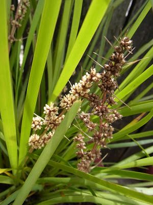 Lomandra longifolia 'Sagg'  Up to 70cm. has tasty leaf bases, a little reminiscent of peas