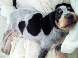 Pictures of Bluetick Coonhound Dog Breed