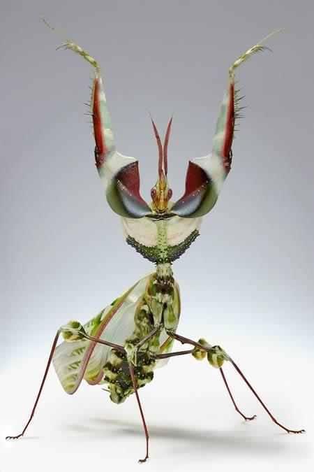 devils flower mantis