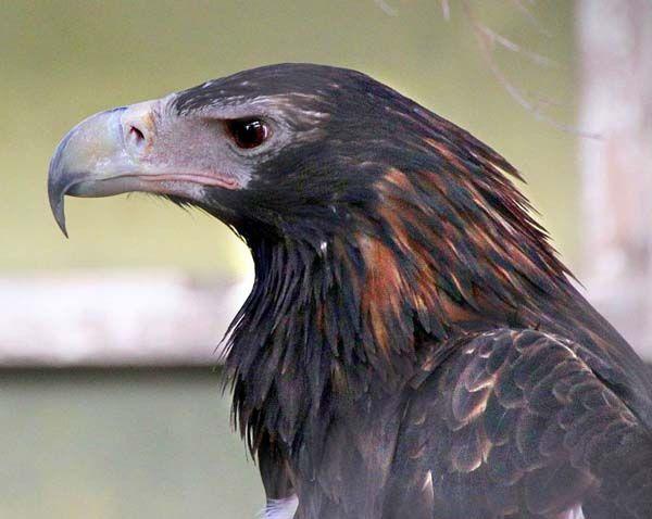 Wedge-tailed Eagle | Aquila audax