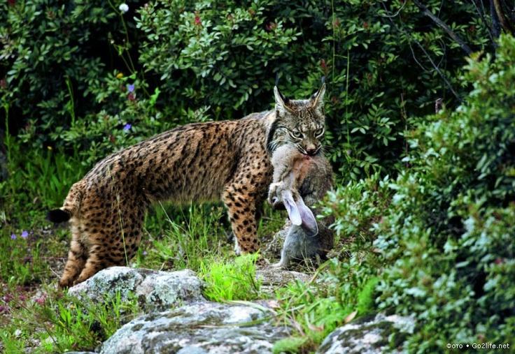 """Цена выживания в дикой природе планеты Земля: похоже на то, что иберийская рысь, или испанская рысь, может повторить печальную судьбу исчезнувшего в далекое время саблезубого тигра. Тем не менее, есть надежда ее защитить и спасти. Давайте полюбуемся этими прекрасными грациозными рысями, пока некоторые представители вида человека """"разумного"""" не уничтожили также и этих представителей семейства кошачьих! #фото #фотографии #кошачьи #рысь #животные #природа"""