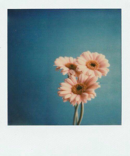Margherite fiori