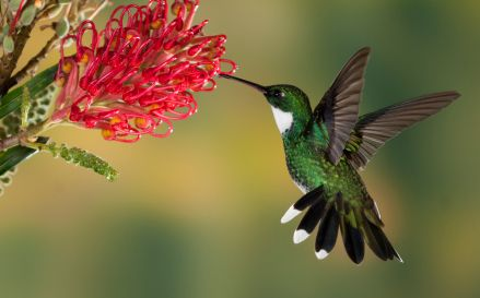 Like bees, hummingbirds carry pollen from one plant to another ...