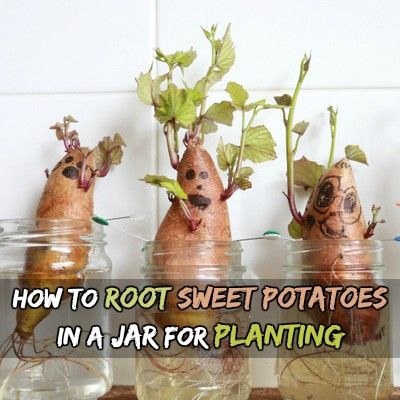 How-to-root-sweet-potatoes-in-a-jar-for-planting.jpg (400×400)