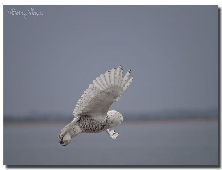 https://flic.kr/p/See1vL | Snowy Owl